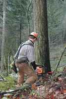 oregon logger cutting tree